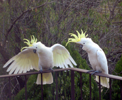 Cockatoo love talk